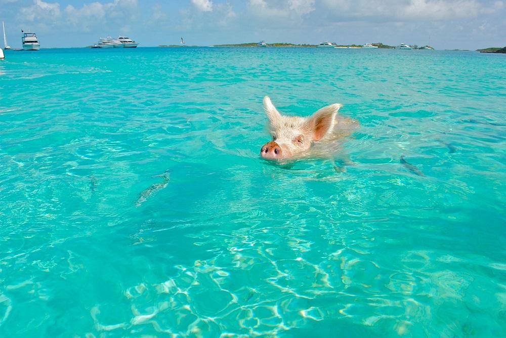 Pig swimming in Bahamas