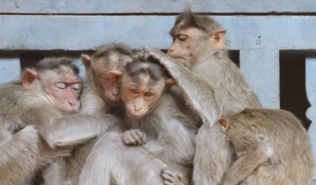 The macaque family of Virupaksha Temple, Hampi