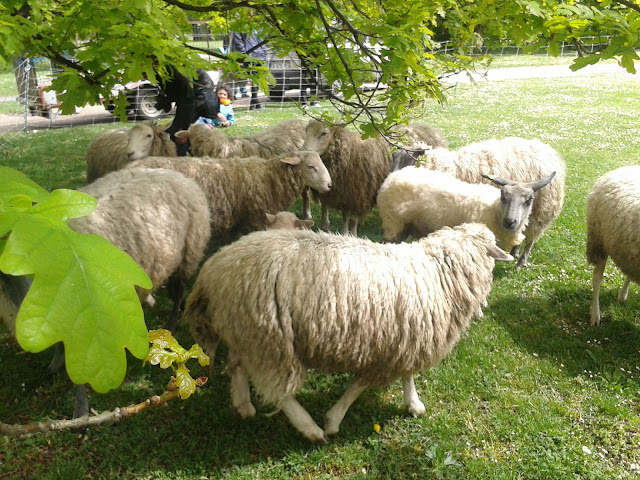 moutons Saint Denis
