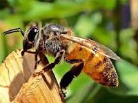 Klasifikasi dan Morfologi Lebah, Lengkap!