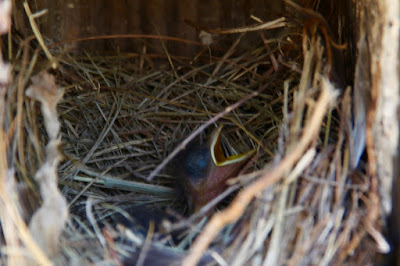bluebird nestlings: 1 gaping, 2 hidden