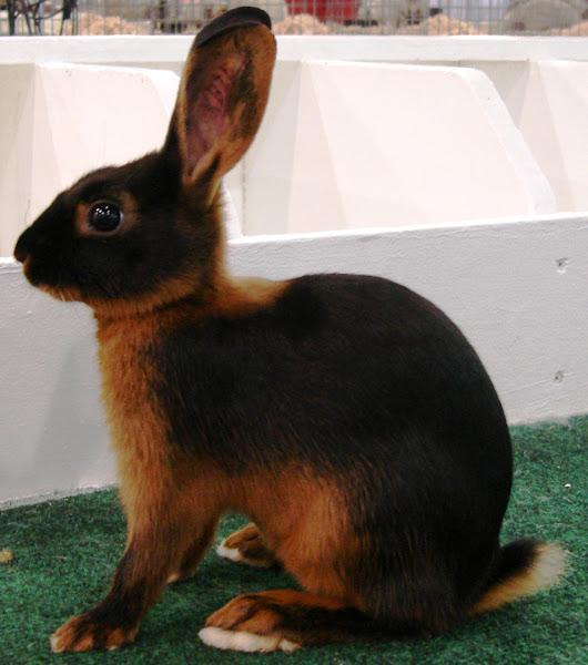 conejo tan, conejos tan, raza de conejo tan, conejo tan, comportamiento conejo bronceado, información de raza de conejo tan, cuidado de conejo tan, características de conejo bronceado, tan datos de conejo, historia de conejo tan, información de conejo tan, información de conejo tan, vida útil de conejo tan , carne de conejo de color canela, color de conejo tan bronceado, origen de conejo tan bronceado, personalidad de conejo tan bronceado, tamaño de conejo bronceado, temperamento de conejo moreno, usos de conejo bronceado, variedad de conejo moreno, peso de conejo tan
