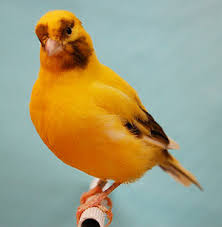 Gambar Fife Fancy Canary