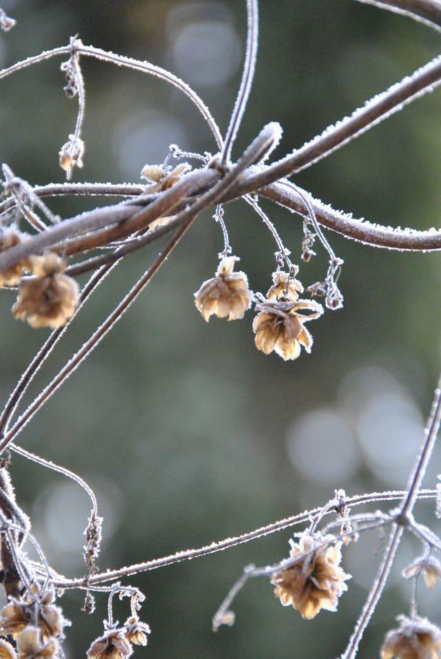 foto leia hjort frost på humlekottar