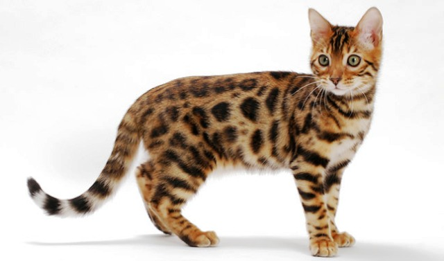 Savannah Bengal Cat