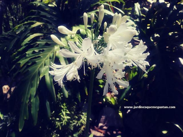 """Agapanto de flor Blanca en los jardines """"La Alameda"""" de Gibraltar"""