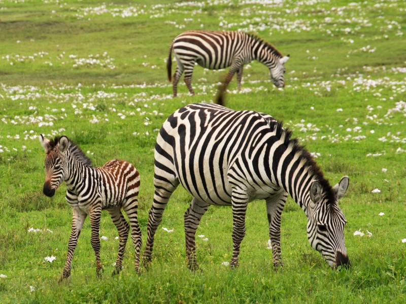 Download Three Zebras on Green Grassland HD wallpaper. Click Visit page Button for More Images.