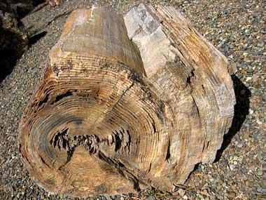 Petrified tree through rock layers dating 9