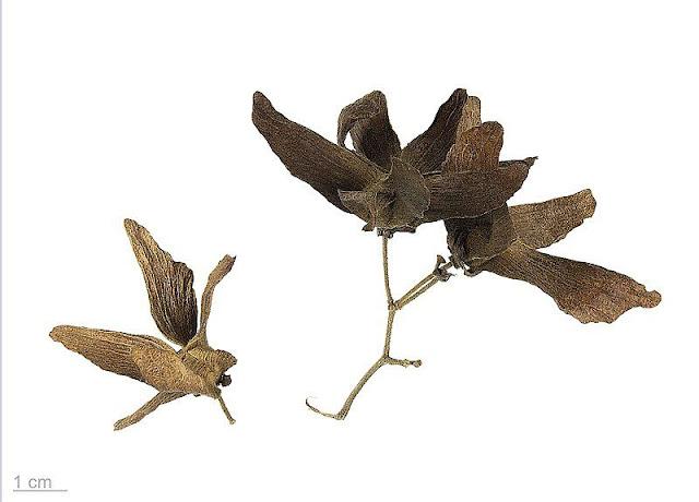 Tơ Mành khô - Hiptage madablota - Nguyên liệu làm thuốc Đắp vết thương Rắn Rết cắn