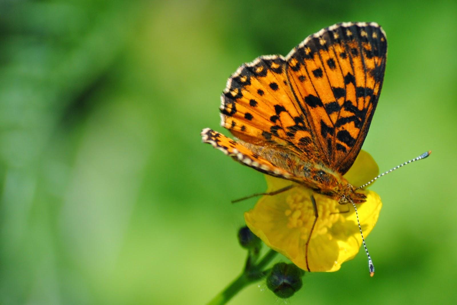 Butterflies+Steve+032