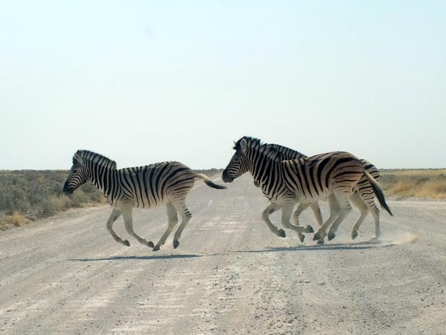 cebras en la carretera