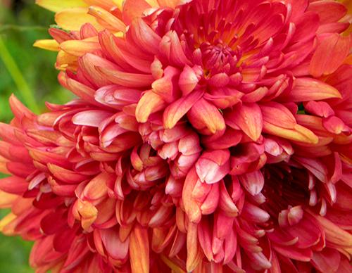 Closeup view of cluster of chrysantemums