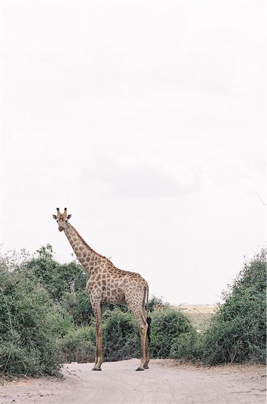 jirafa boda en África chicanddeco