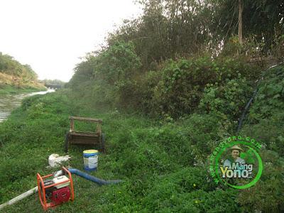 FOTO 6 : Pompanisasi Tanaman Padi TRISAKTI di Lahan Gogorancah