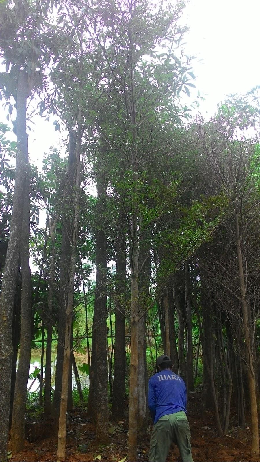 Tukang Taman Murah  Harga Jual Pohon Ketapang Kencana