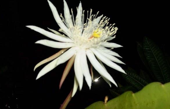 Sejarah Bunga Wijaya Kusuma dalam Berbagai Versi