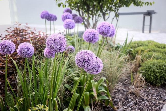 Alliums in the border of the gardens of Crowne Plaza