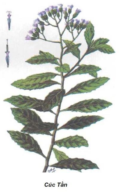 Hình ảnh Cúc Tần - Pluchea indica - Nguyên liệu làm thuốc Chữa Cảm Sốt