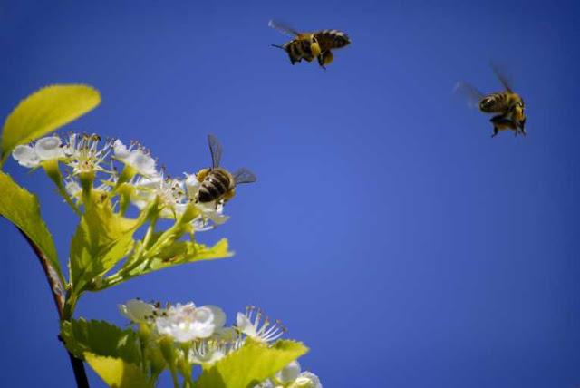 Πόσο γρήγορα οι μέλισσες ταξιδεύουν προς το λιβάδι;