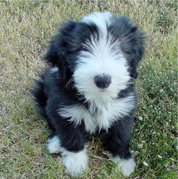Bearded Collie Puppies Pictures