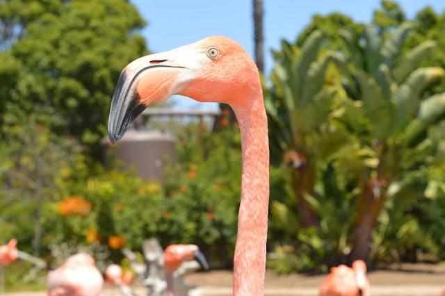 pink flamingos beach aruba
