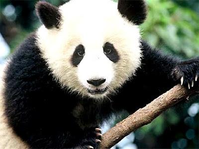 Foto al rostro del oso panda