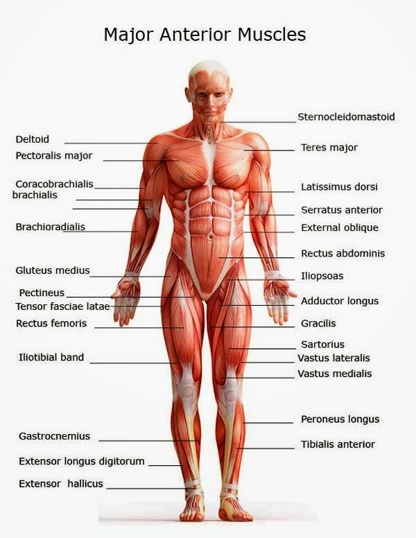 the muscles and skeleton - lessons - tes teach, Muscles