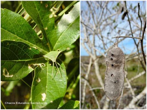 Hojas comidas por chinche verde / Vaina perforada por insecto  - Chacra Educativa Santa Lucía