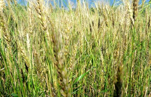 Experimental Theology Wheat And Tares