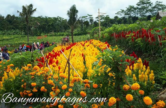 Taman bunga Celosia di Agro Expo Banyuwangi.