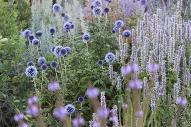 echinops, gradina, flori, firma, proiectare gradina, ciuline decorativ, peisagist, amenajare gradina