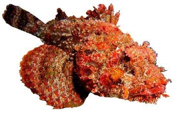 Peixe Mamangá (Scorpaena brasiliensis)