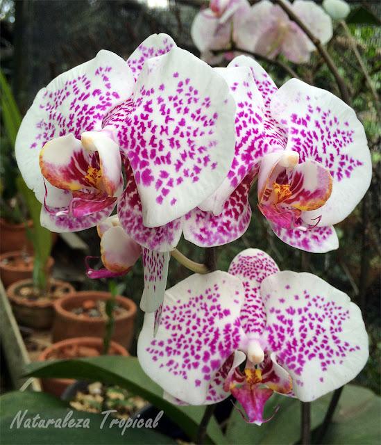 Flor de una orquídea mariposa, Phalaenopsis sp