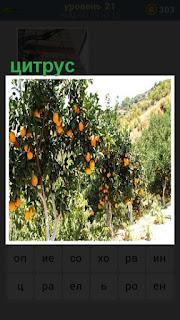 небольшой куст с цитрусом оранжевого цвета плоды висят