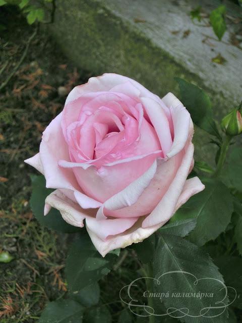 Роза Madame Maurice de Luze, розы, розарии, сад и розы