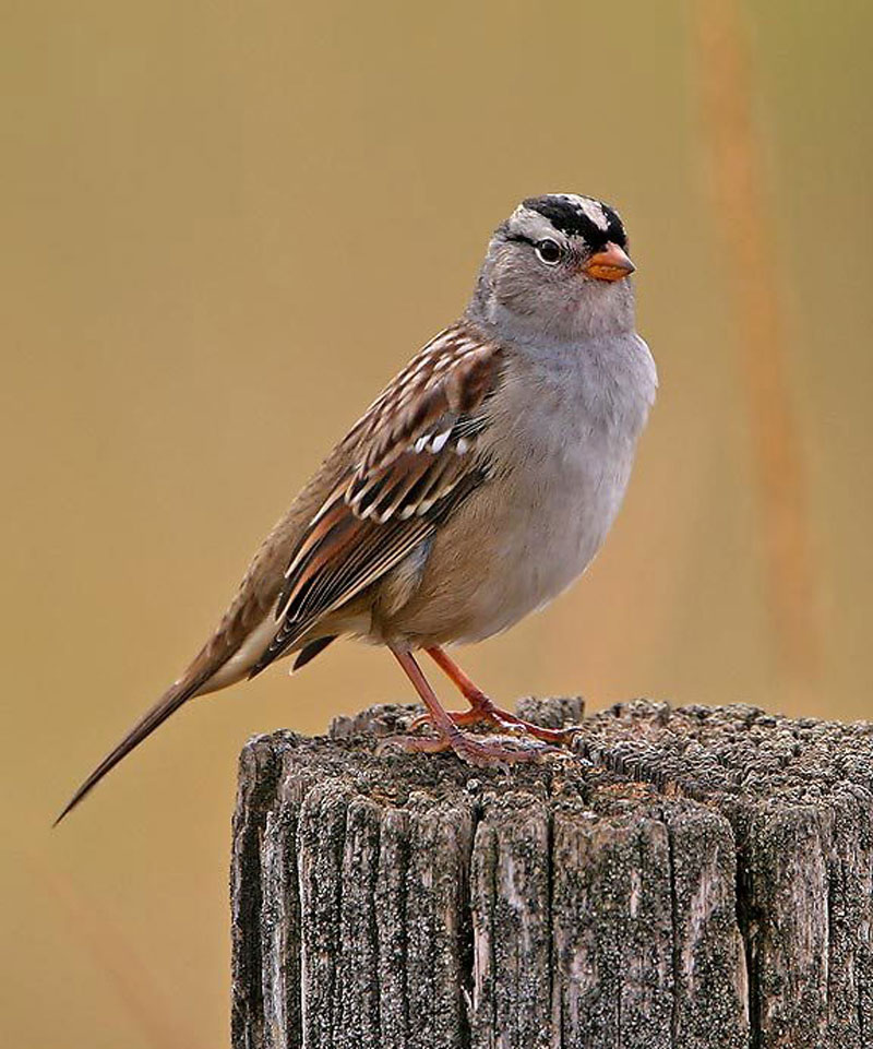 Funny Image Collection: Blue Bird White-Crowned Sparrow!