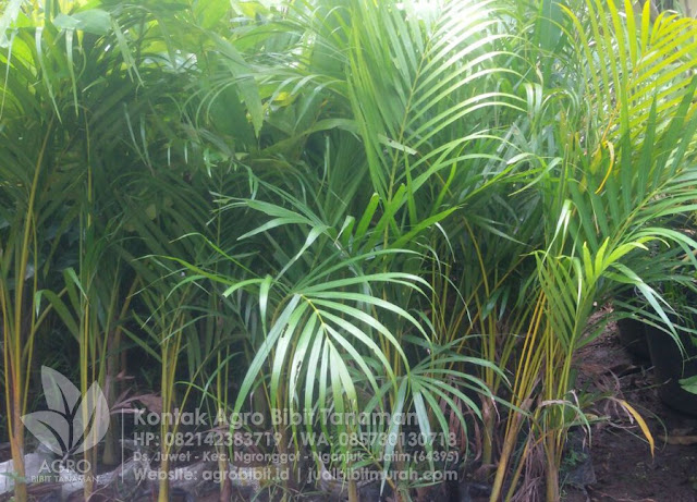 Manfaat Palem Kuning untuk Sekitar Kita, Artikel Bibit Tanaman, jual bibit murah, palem kuning, tanaman hias