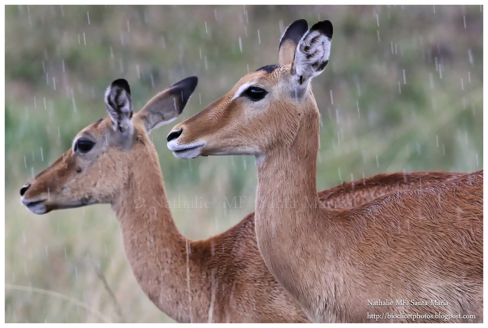 https://bioclicetphotos.blogspot.fr/search/label/Impalas