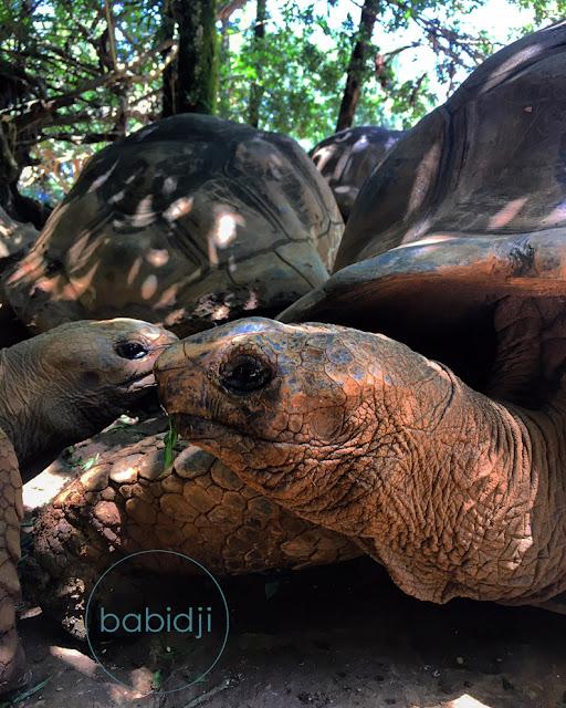 tortues géantes d'aldabra à la vanille Nature Park à l'île Maurice