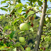 Green Organic Apple from Mariovo Region