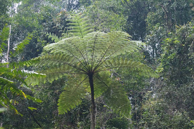 Tree fern (Cyathaceae)