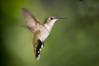 el colibri leyenda