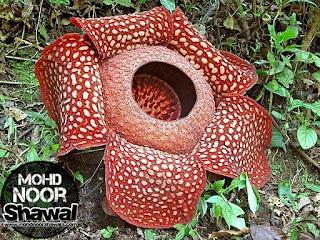 Info Malaysia ep 1 : Bunga Pakma ( Rafflesia Pricei )