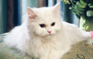Perbedaan Kucing Anggora dengan Persia