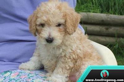 How to keep a poodle dog