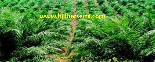 menanam kelapa sawit, kebun kelapa sawit