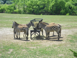 Zebra at the Cape May County Zoo in New Jersey