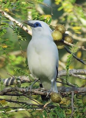 Suara Masteran Burung Jalak Bali Asli Hutan
