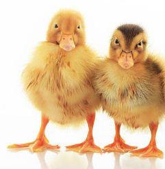 Deskripsi Bahasa Inggris Hewan (Ayam, Ikan, Ular, Cicak, Kura-Kura, Badak, Kelinci, Beruang Kutub, Bebek & Unta)