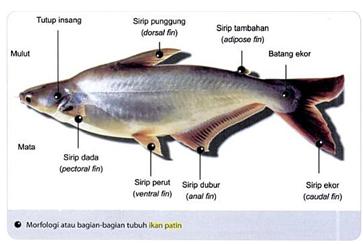klasifikasi ikan patin